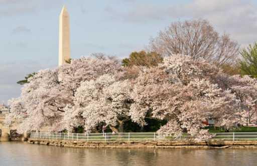 Cherry Blossom tour in Washington D.C